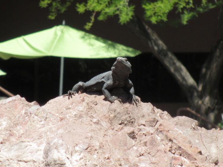 A Chuckwalla Lizard as seen on a previous trip. (Photo by Shelley Kassian)